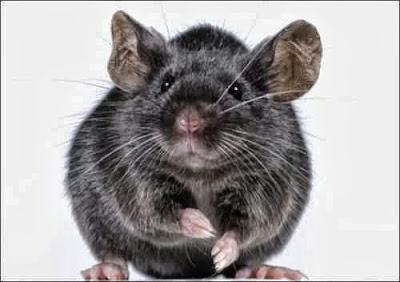 Significado dos Sonhos com Rato