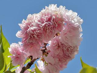 Cherry blossoms at Yuyuantan Park