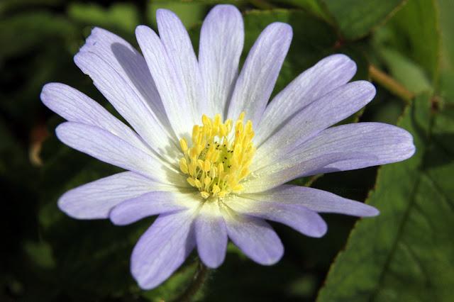 macro, fleurs, mauve