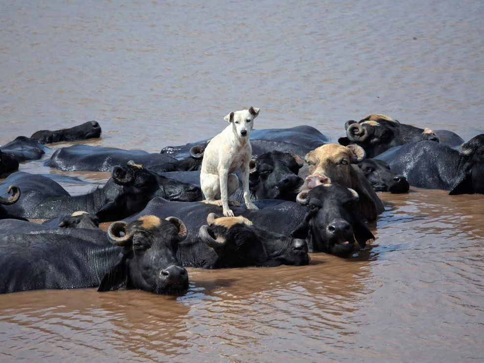 Funny animals of the week - 10 January 2014 (35 pics), dog stands on buffalo's back
