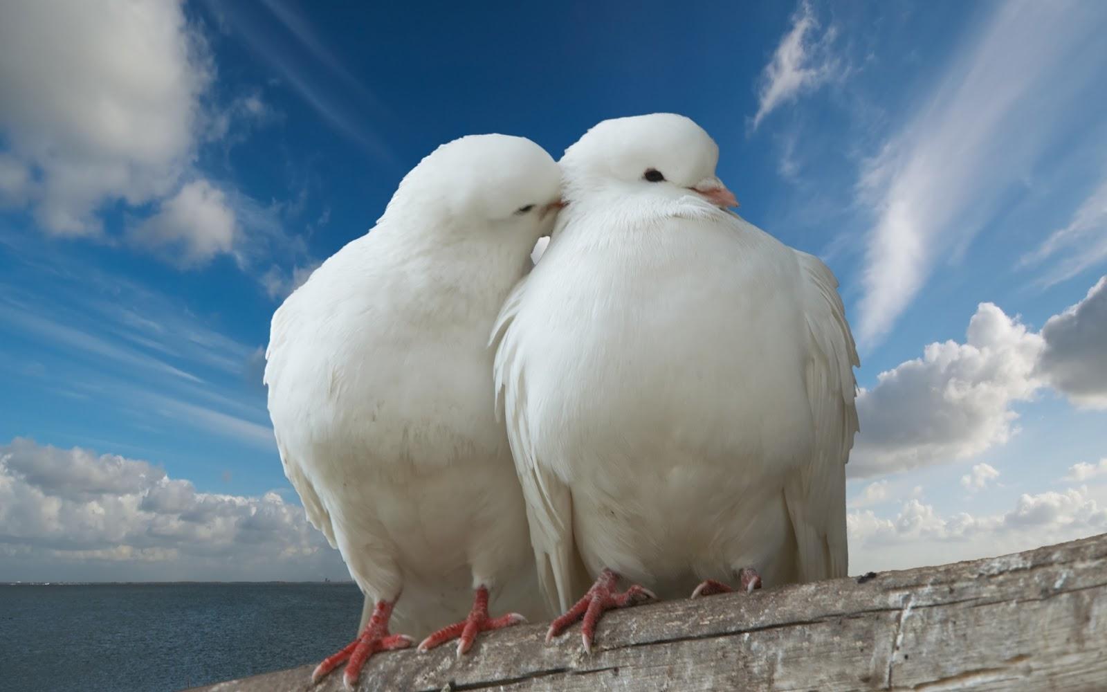 Palomas Blancas - Hermosa Pareja de Palomas Blancas | FOTOBLOG X