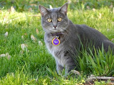 Molly the cat has shiny coat from eating Purina Pro Plan