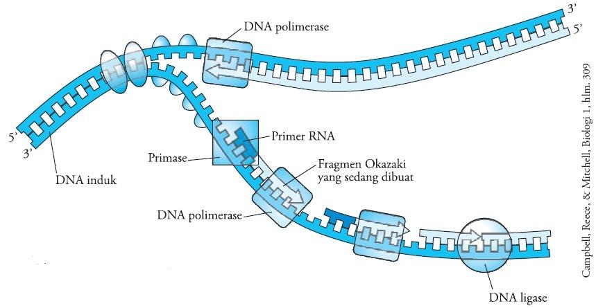 Proses dan tahapan sintesis protein pengertian replikasi replikasi dna ccuart Images