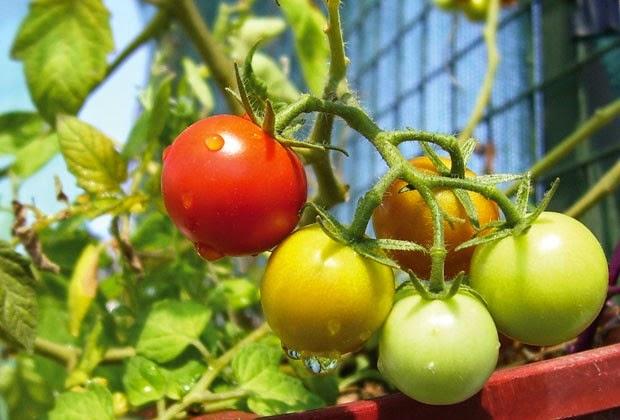 Permacultura del viento tomates en maceta nivel avanzado - Tomates cherry en maceta ...