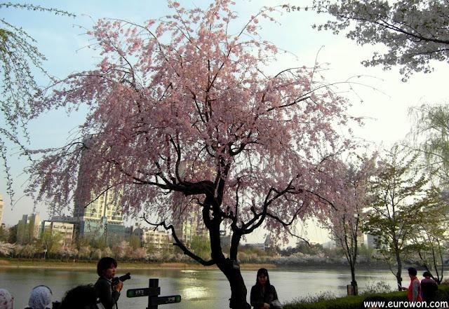 Cerezo con flores rosas en Seúl