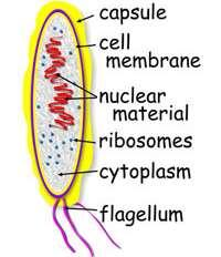 BASIC BACTERIUM CELL