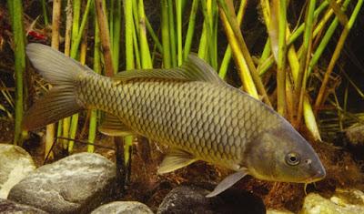 Tips Jitu Teknik Memancing,cara membuat umpan ikan air tawar,air masin, umpan buatan ikan air tawar, umpan mancing ikan air tawar, umpan pancing ikan air tawar,