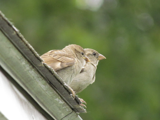 two young house sparrows on roof