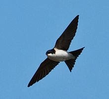 Housemartins band name inspiration - Delichon_urbicum_-Iceland_-flying-8