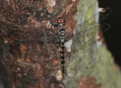 Treehugger (Tyriobapta torrida) f