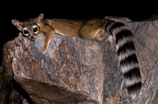 raring ringtail