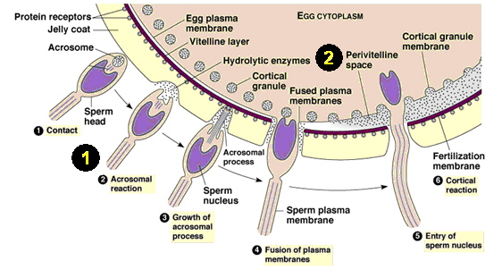 Of what sperm consists of
