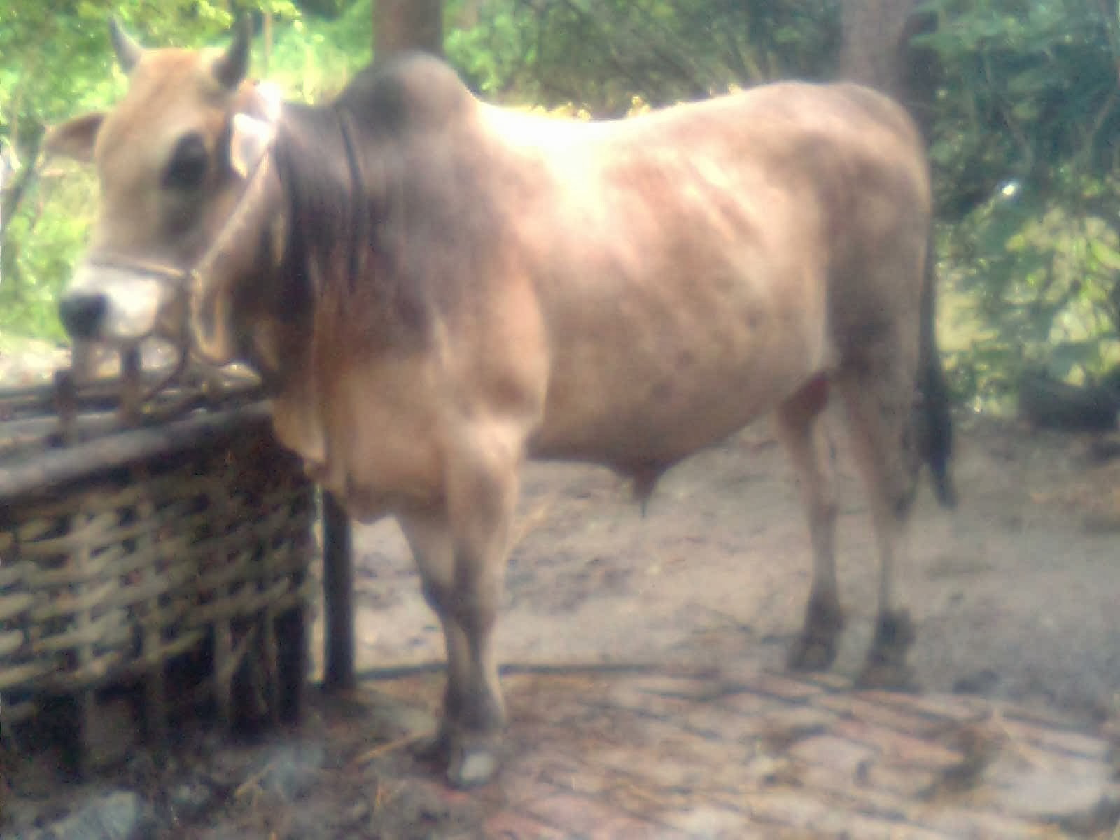 - Eid Ul Azha Animal: Korbani Goru - Edi Ul Azha Cow Image and Price