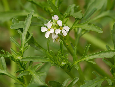 Sea Rocket Cakile maritima