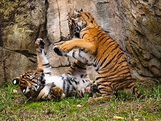Gambar Harimau Malaya