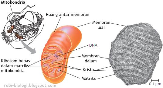 Mitokondria, Warisan Berharga Sang Ibu