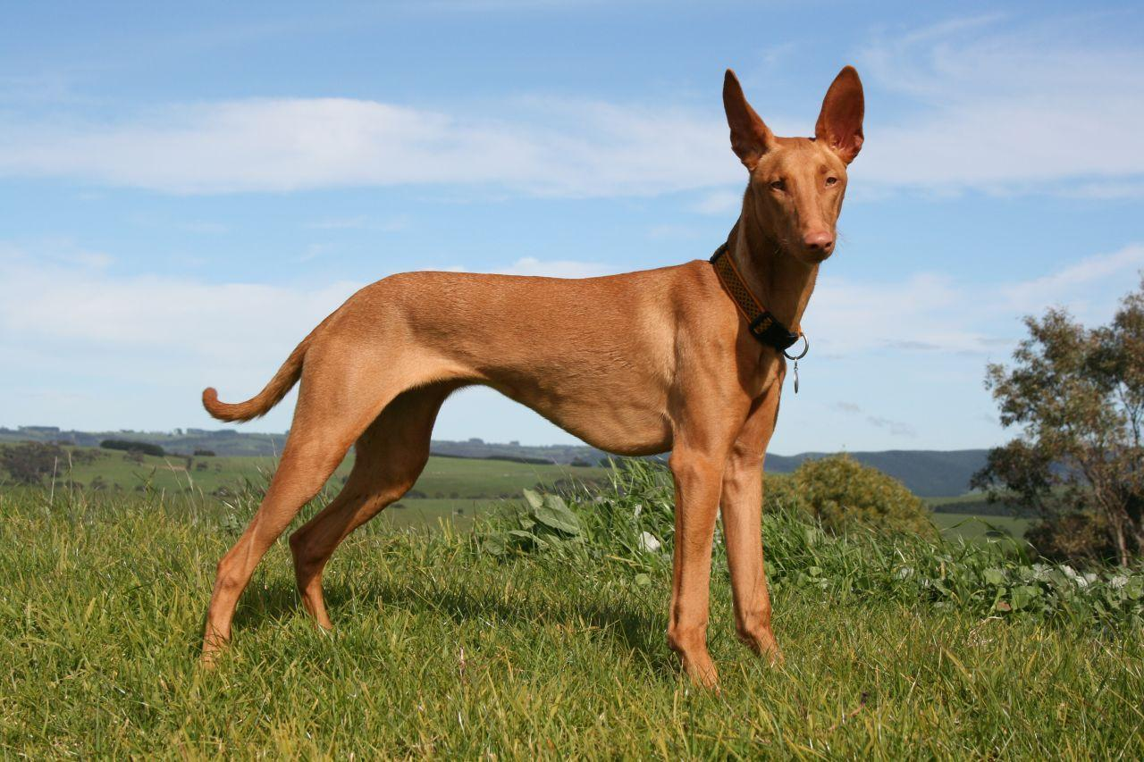 dog, Dogs, pet, pets, Pharaoh Hound Dog,