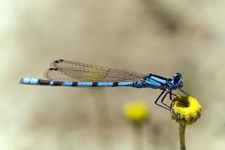 Para ampliar Enallagma cyathigerum (Caballito azul común) hacer clic