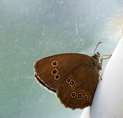 Totul despre fluturi: Brown Butterfly