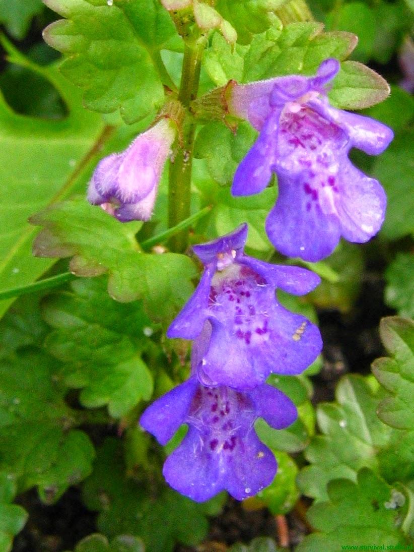 BLUSZCZYK KURDYBANEK Glechoma hederacea kwiat
