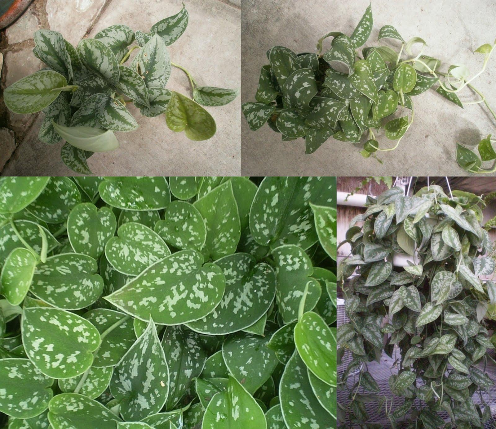 Plantas vivas para phelsuma madagascariensis Scindapsus%2Bpictus%2Bdone