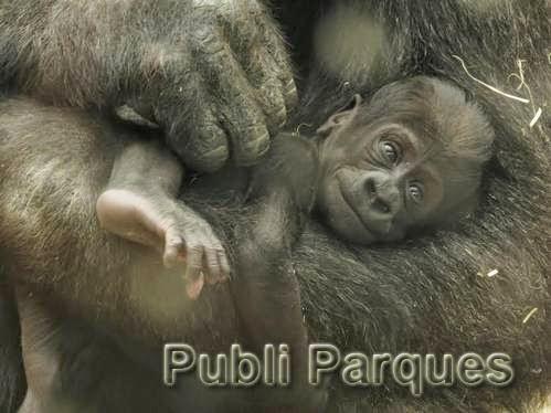 Cría de Gorila