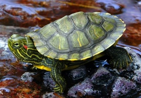 red ear slider are the most common turtle to keep in the turtle hobby ...