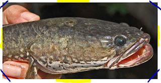Ekstrak Ikan Gabus, Kapsul Ikan Gabus dan Albumin Ikan Gabus