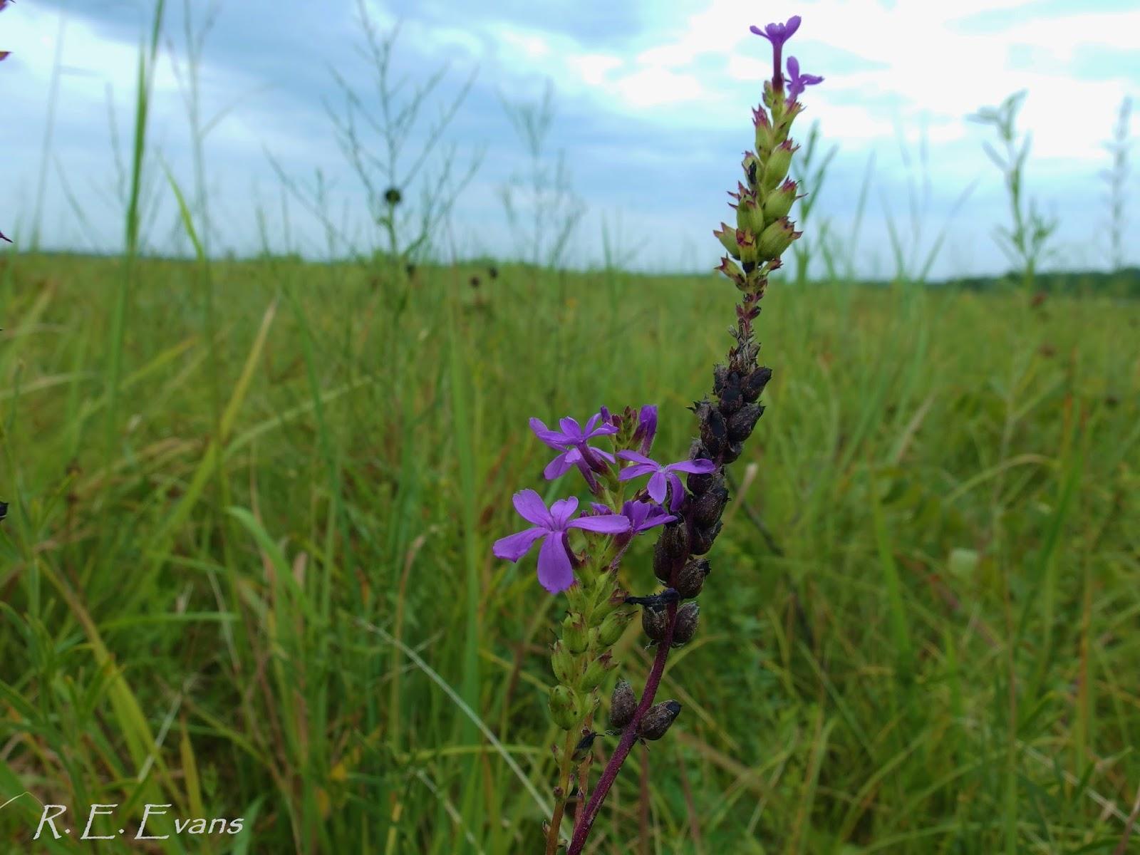 Grassland plants names