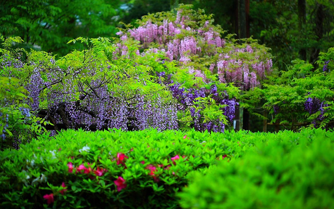 free wallpapers flowers wisteria