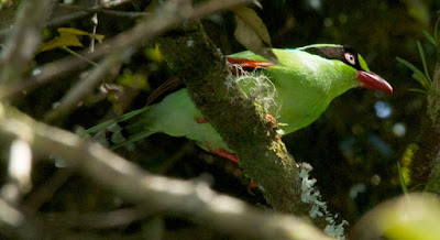 Bornean Green Magpie (Cissa jefferyi)
