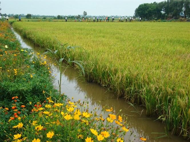 Kiên Giang: Phát triển ruộng lúa bờ hoa