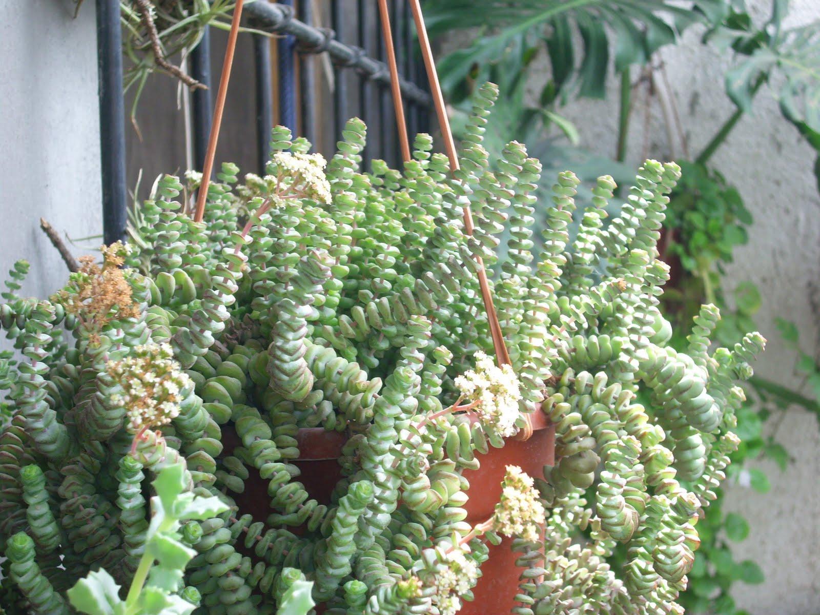 Mis cactus y crasas crassula marnieriana for Plantas suculentas colgantes