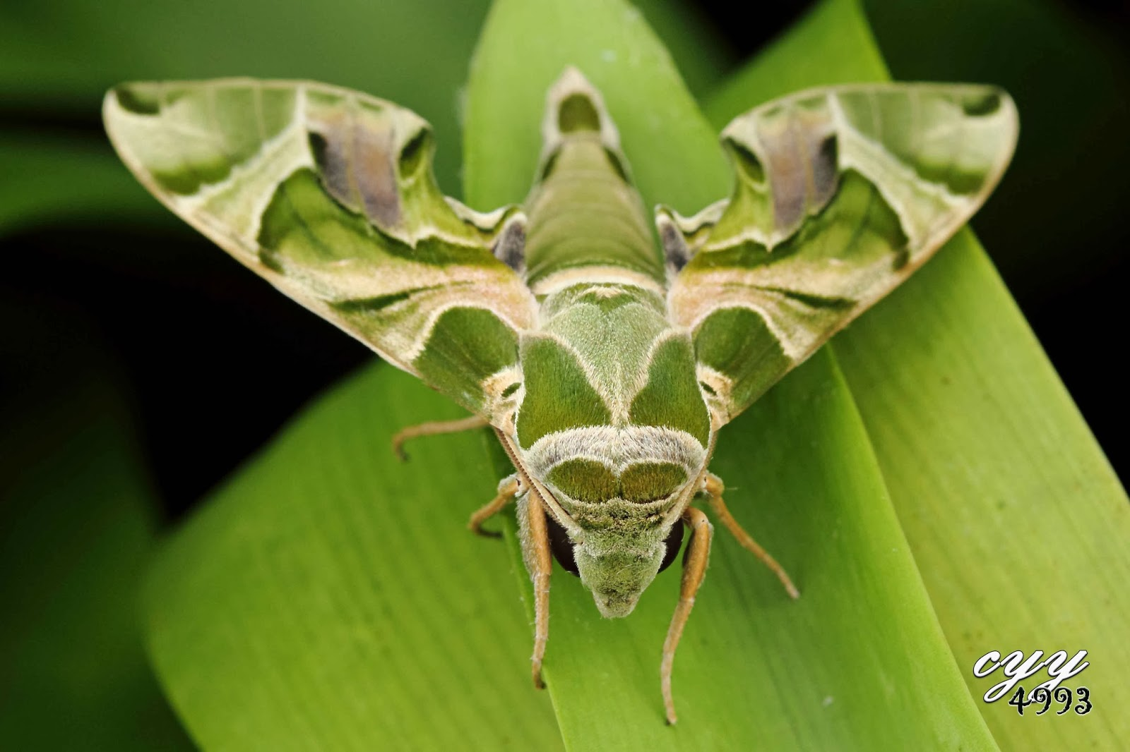 Sphingidae Hawk moth  sphingidae  daphnisSphingidae Larvae