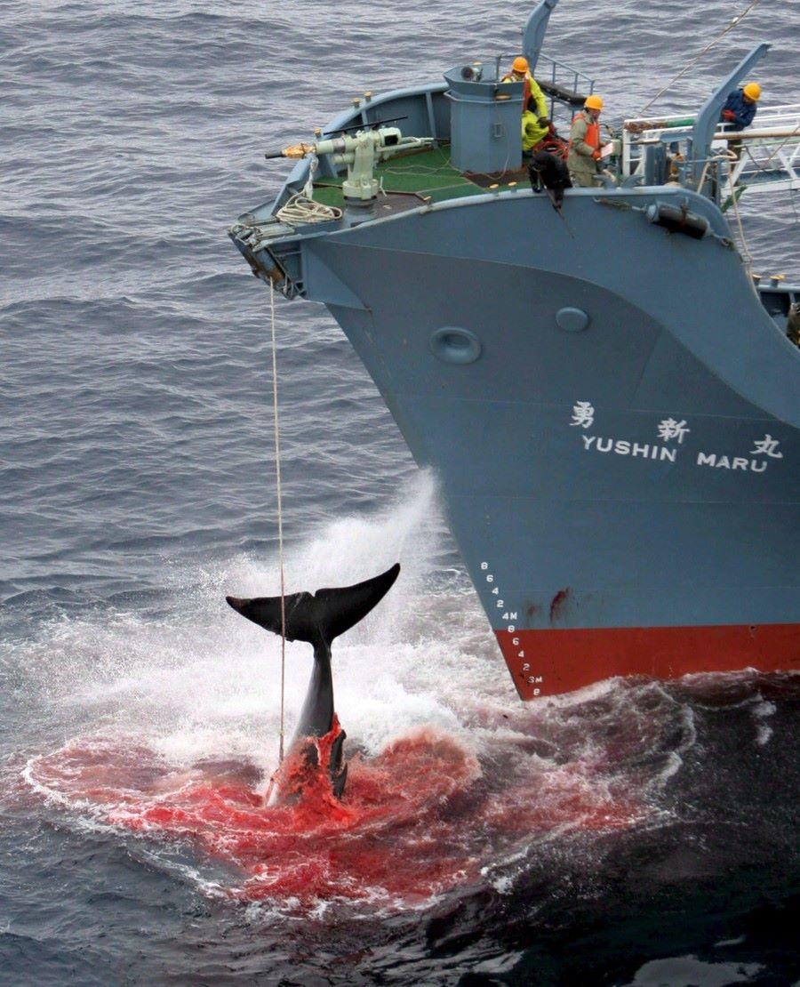 Pese a las críticas, Japón reinicia la caza de ballenas en la ...