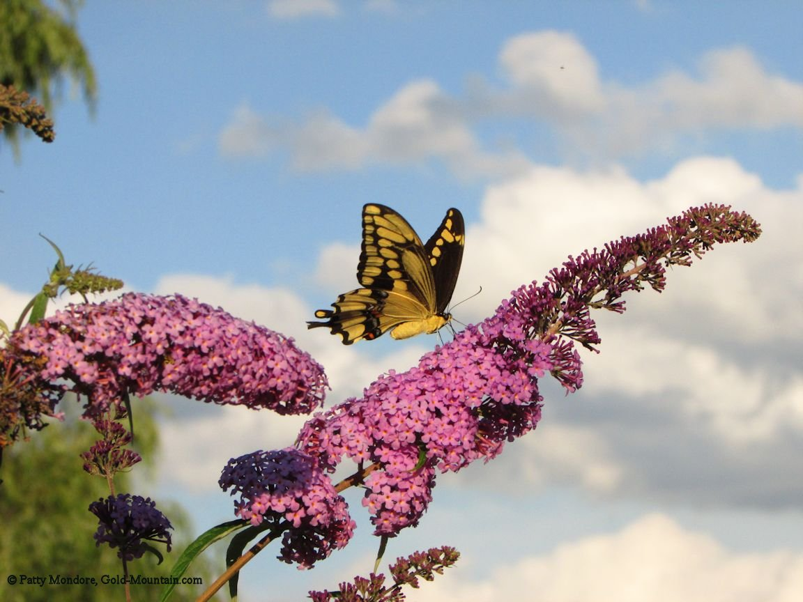 tiger swallowtail butterfly wallpapers - Tiger Swallowtail Butterfly Wallpaper Butterflies Animals