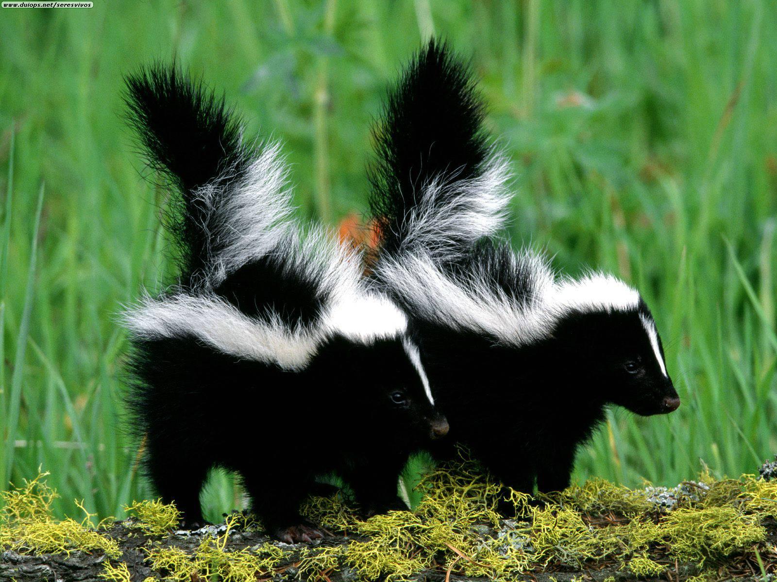 Running Skunk