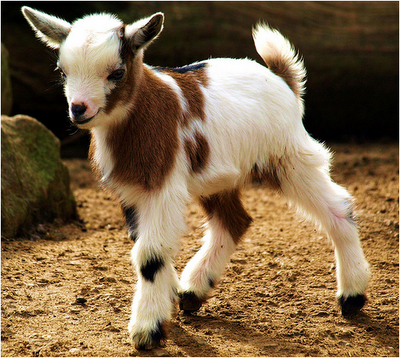 Baby Goats Cute and Lovely Latest graphs