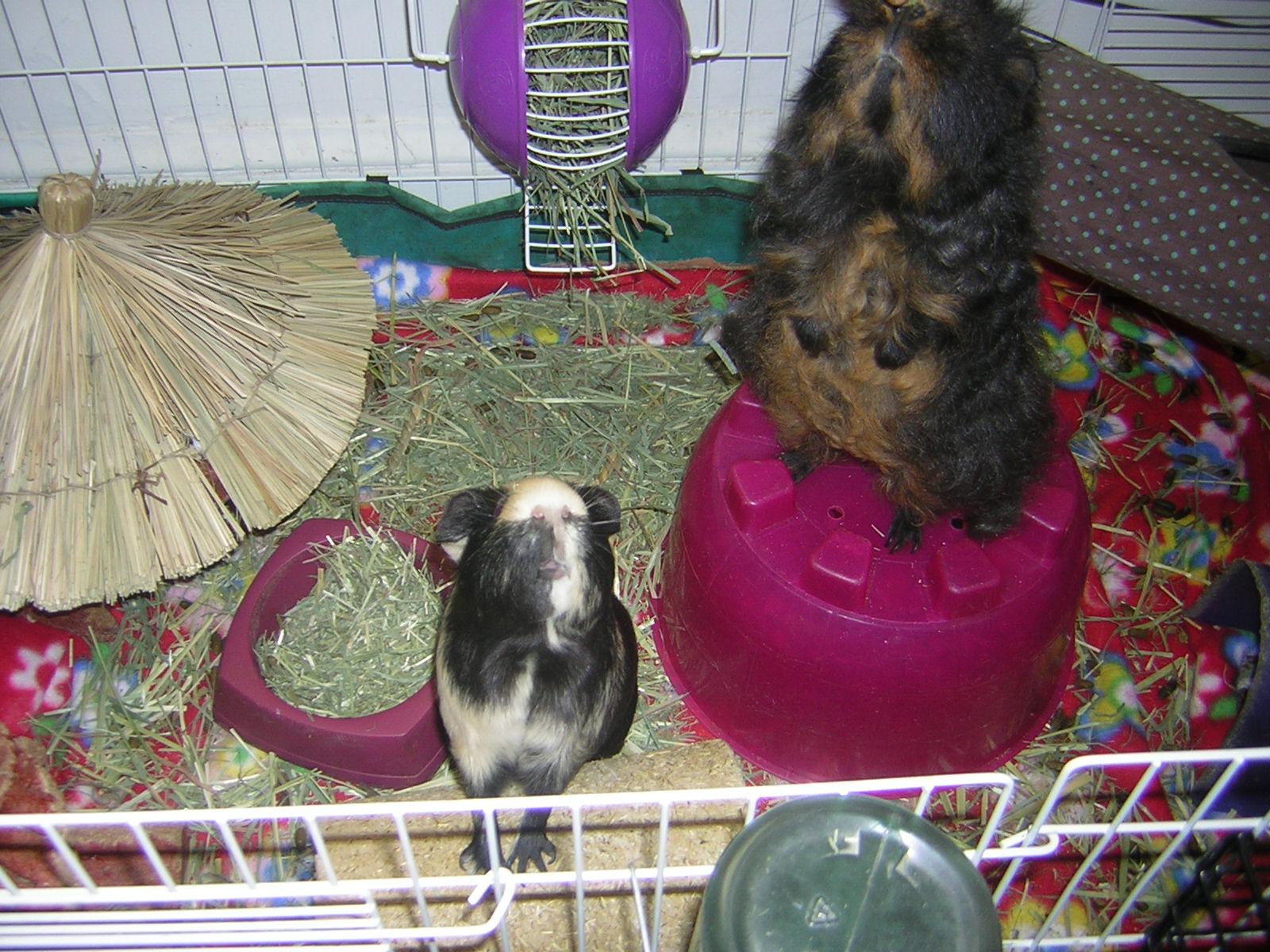 Fleece Bedding For Guinea Pigs Review