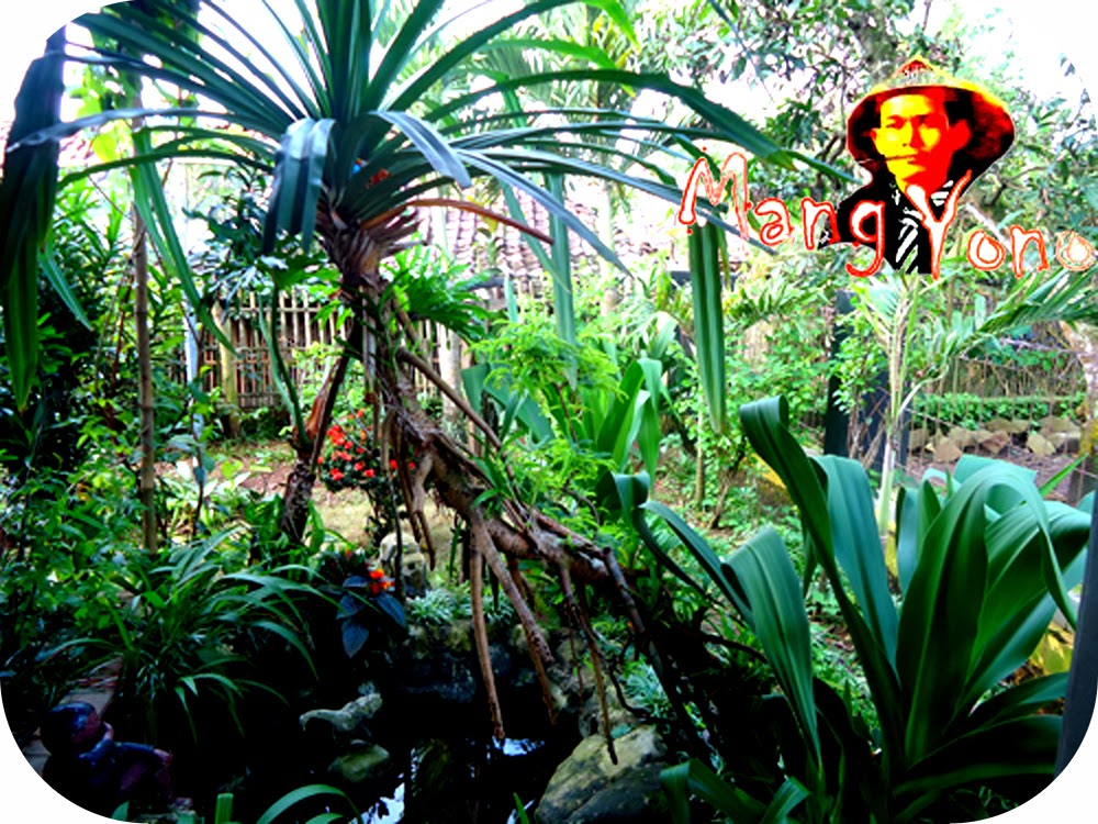 menanam / menempel  Anggrek pada pohon hidup / pohon pandan wangi
