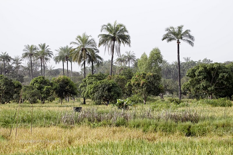 The Abuko Rice Fields