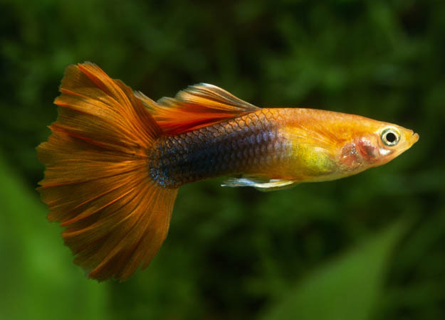 Tropical fish Breeding for Beginners: Guppies & Swordtails