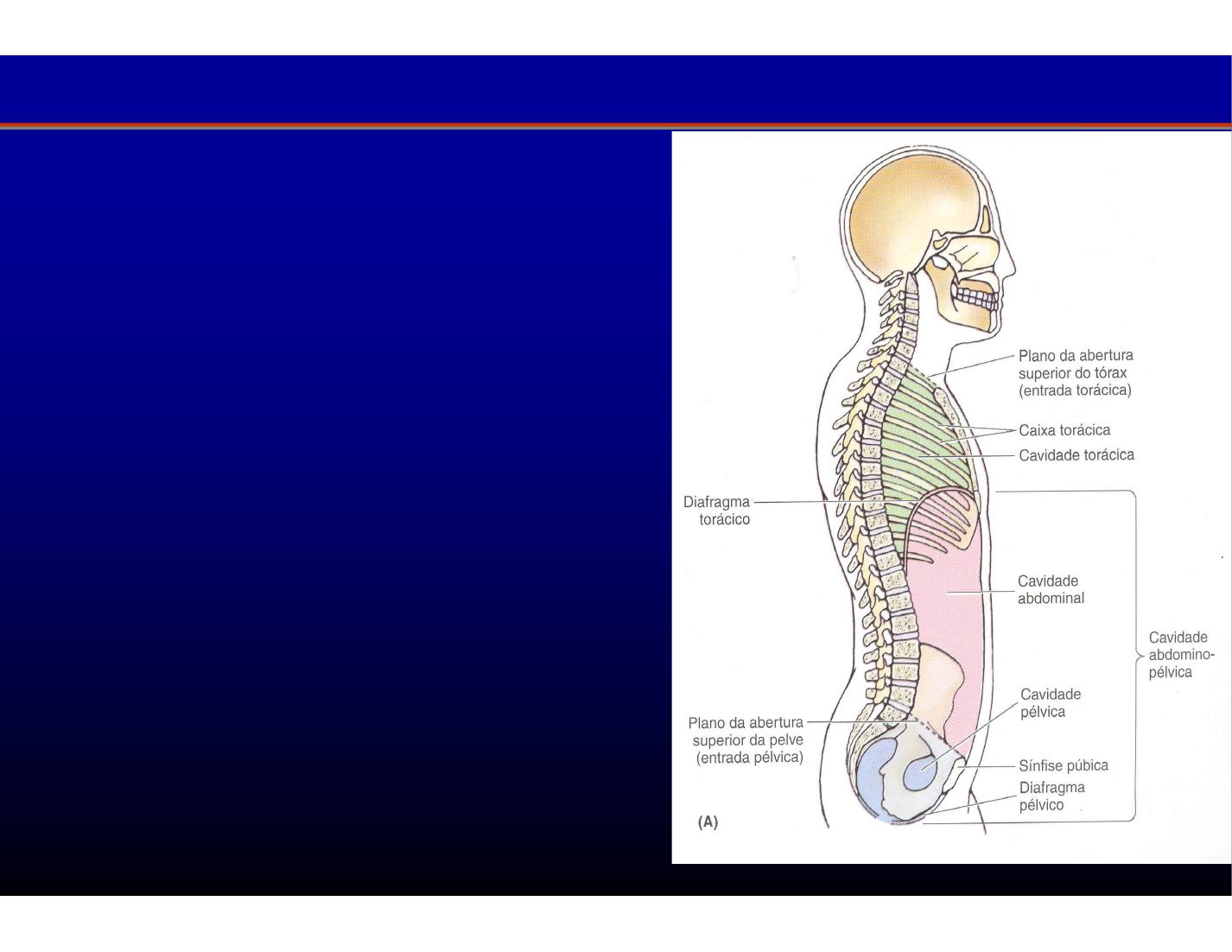 Anatomia del Abdomen | El cuaderno de Medicina