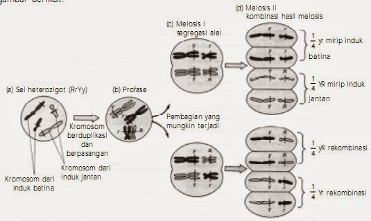 Segresi dan pengelompokan secara bebas yang terjadi pada kromosom saat meiosis pembentukan gamet.