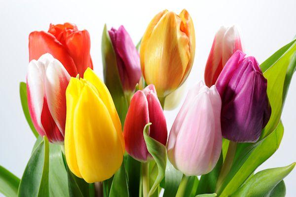 Banco de im genes gratis tulipanes de colores para - Fotos de rosas de colores ...