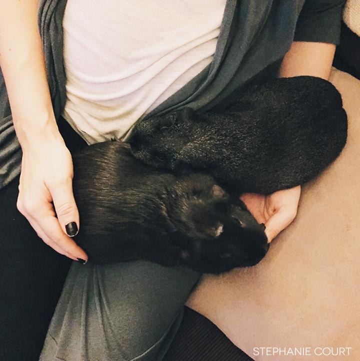 guinea pigs cuddling on lap