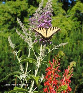 non-invasive butterfly bush, native cardinal and swallowtail