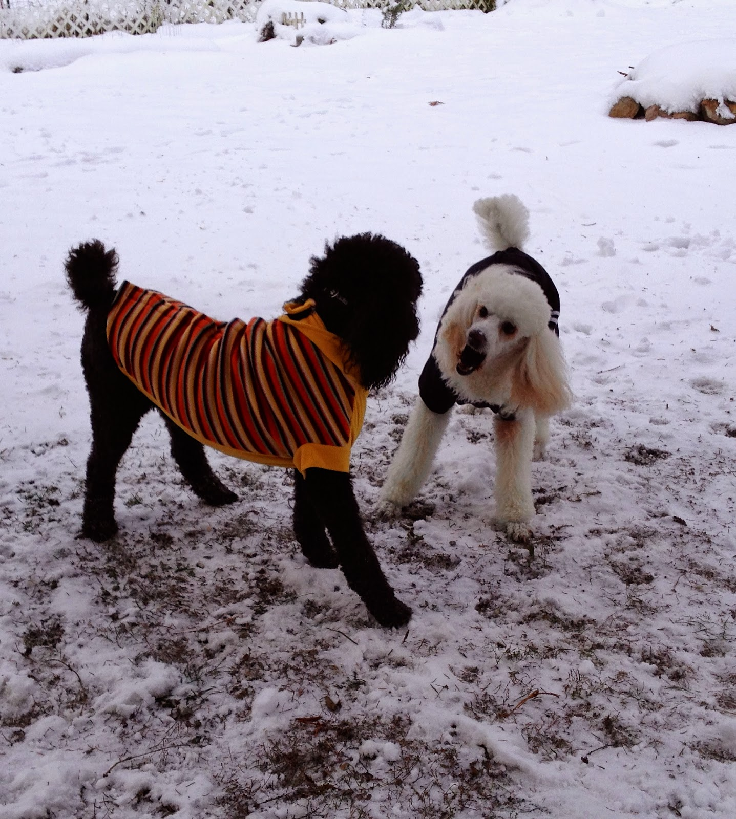 Playing poodles in the cold snow