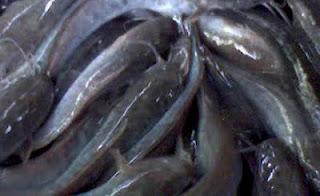 budidaya+lele Cara Ternak Budidaya Ikan Lele