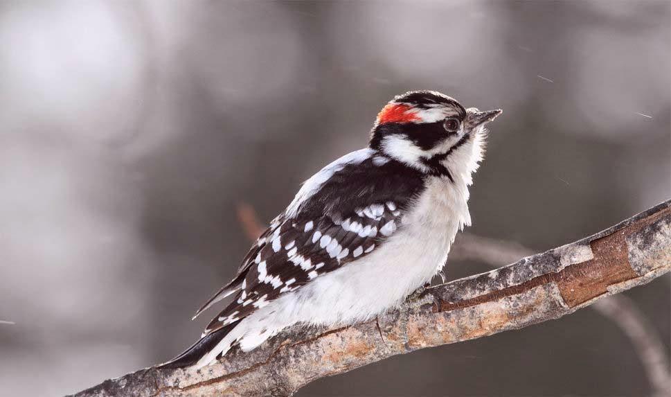 bird-a-woodpecker-downy-twig-blur-hd-image